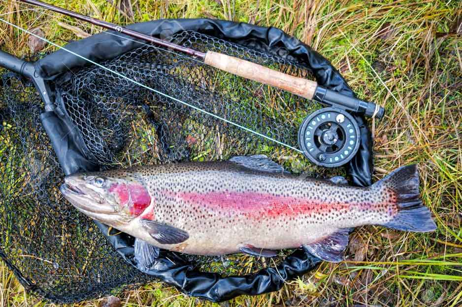 Rainbow trout Rod