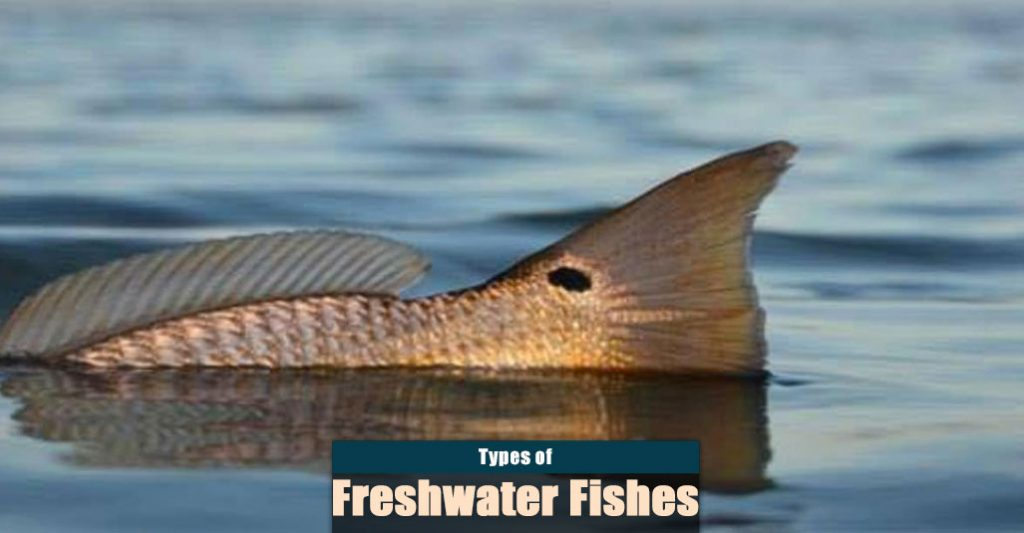 Types of Freshwater Fish for Angling