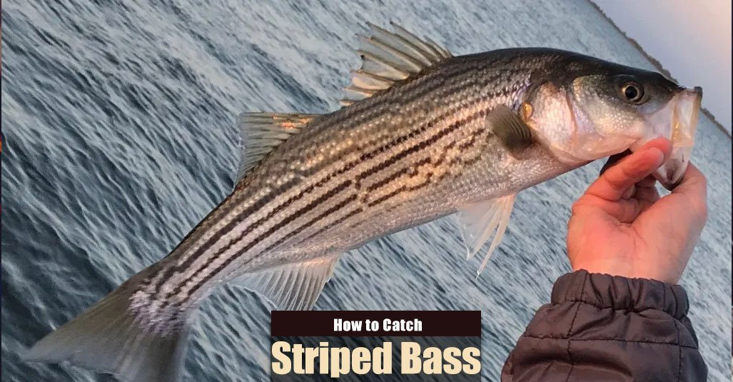 How to Catch Striped Bass in the Summer