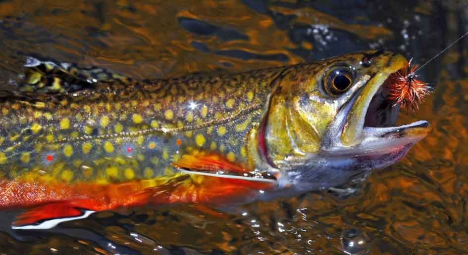 Where to Find Brook Trout
